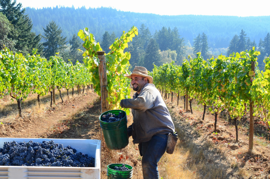 Territorial_Vineyards_Harvest_101112_5021